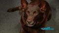 Koko, Red Dog